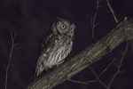 Eastern Screech-Owl (Megascops asio) in mid-February.