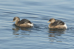 Pied-billed Grebes (Podilymbus podiceps) in mid-February.