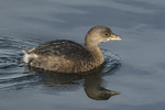 Pied-billed Grebe (Podilymbus podiceps) in mid-February.