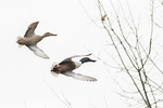 Northern Shovelers (Spatula clypeata) in flight in mid-February.