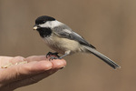 Black-capped Chickadee (Poecile atricapillus) fed by hand in mid-February.