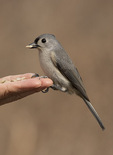 Tufted Titmouse (Baeolophus bicolor) fed by hand in mid-February.