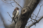 First-winter Red-headed Woodpecker (Melanerpes erythrocephalus) molting into first-spring plumage in late February.