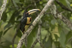 Collared Aracari (Pteroglossus torquatus) in late January.