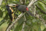Collared Aracari (Pteroglossus torquatus) male of pair feeding female in late January.