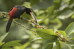 Collared Aracari (Pteroglossus torquatus) feeding on berries of Gallinero or Hollowheart (Acnistus arborescens) in late January.