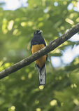 White-tailed Trogon (Trogon chionurus) in mid-January.