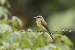 Tropical Kingbird (Tyrannus melancholicus) in late January.