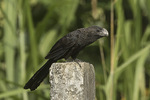 Smooth-billed Ani (Crotophaga ani) in mid-January.