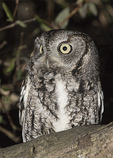 Gray morph Eastern Screech-Owl (Megascops asio) in early March.