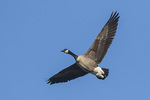 Canada Goose (Branta canadensis) in flight in early March.
