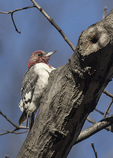 Immature Red-headed Woodpecker (Melanerpes erythrocephalus) molting into first-spring plumage in early March.