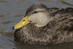 Male American Black Duck (Anas rubripes) close-up in mid-March.