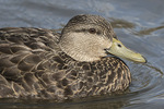 Female American Black Duck (Anas rubripes) close-up in mid-March.
