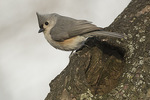 Tufted Titmouse (Baeolophus bicolor) at possible nest site in mid-March.