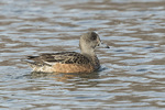 First-winter female American Wigeon (Anas americana) in mid-March.