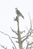 Merlin (Falco collumbarius) with White-throated Sparrow (Zonotrichia albicollis) in mid-March.