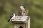 Tree Swallow (Tachycineta bicolor) pair at nest box in mid-May.