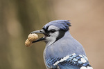 First-winter Blue Jay (Cyanocitta cristata) with peanut in mid-January.