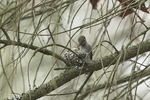 Female Anna's Hummingbird (Calypte anna) at nest with young in mid-March.