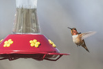 Male Rufous Hummingbird (Selasphorus rufus) in late March.