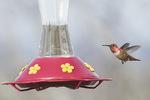 Male Rufous Hummingbird (Selasphorus rufus) in late March.