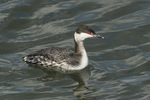 Horned Grebe (Podiceps auritus) in mid-March.