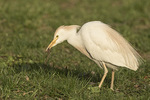 Cattle Egret (Bubulcus ibis) foraging on a lawn in an apartment complex in Chelsea in mid-April.