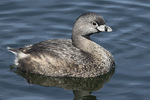 Pied-billed Grebe (Podilymbus podiceps) in early April.