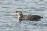 First-spring Common Loon (Gavia immer) in mid-April on spring migration.