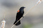 Adult male Red-winged Blackbird (Agelaius phoeniceus) in mid-April.