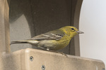 Male Pine Warbler (Setophaga pinus) on seed feeder in mid-April on spring migration.