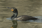 Adult Double-crested Cormorant (Phalacrocorax auritus) in breeding plumage in mid-April.