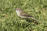 Chipping Sparrow (Spizella passerina) in mid-April on spring migration.