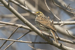 Savannah Sparrow (Passerculus sandwichensis) in mid-April on spring migration.