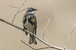 Male Yellow-rumped Warbler (Setophaga coronata) in mid-April on spring migration.