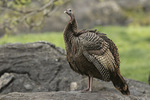 Wild Turkey (Meleagris gallopavo) in late April.