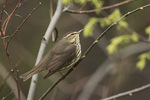 Northern Waterthrush (Parkesia noveboracensis) in late April on spring migration.