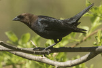 Male Brown-headed Cowbird (Molothrush ater) in late April.
