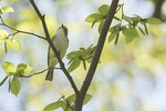 Blue-headed Vireo (Vireo solitarius) in late April on spring migration.