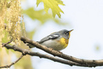 Male Northern Parula (Setophaga americana) in flowering Pin Oak (Quercus palustris) late April on spring migration.