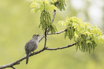 Gray Catbird (Dumetella carolinensis) singing in Black Walnut (Juglans nigra) in early May.
