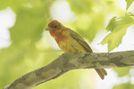 Male Summer Tanager (Piranga rubra) in early May on spring migration.