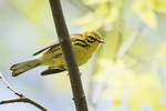 Male Prairie Warbler (Setophaga discolor) in early May on spring migration.