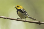 Male Black-throated Green Warbler (Setophaga virens) in early May on spring migration.