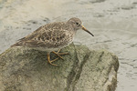 Purple Sandpiper (Calidris maritima) in mid-May.