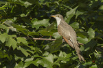 Immature Yellow-billed Cuckoo (Coccyzus americanus) in mid-September on fall migration.