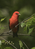 Male Scarlet Tanager (Piranga olivacea) in mid-May on spring migration.