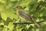 Female Scarlet Tanager (Piranga olivacea) in mid-May on spring migration.