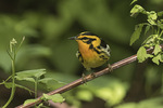 Male Blackburnian Warbler (Setophaga fusca) in mid-May on spring migration.